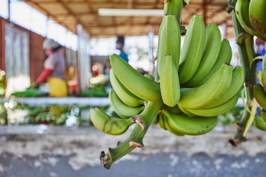 CITRUM Bananas